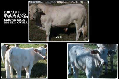 VD-3 and 2 of his calves