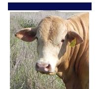 Bunjurgen Charbray bulls for sale